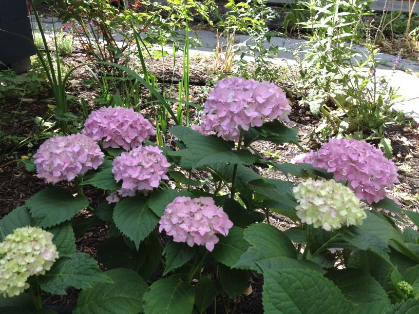 Mary Anne Mohanraj Hydrangea Flowers Plants