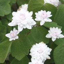 Rue Anemone for sale buy Anemonella thalictroides 'Cameo'