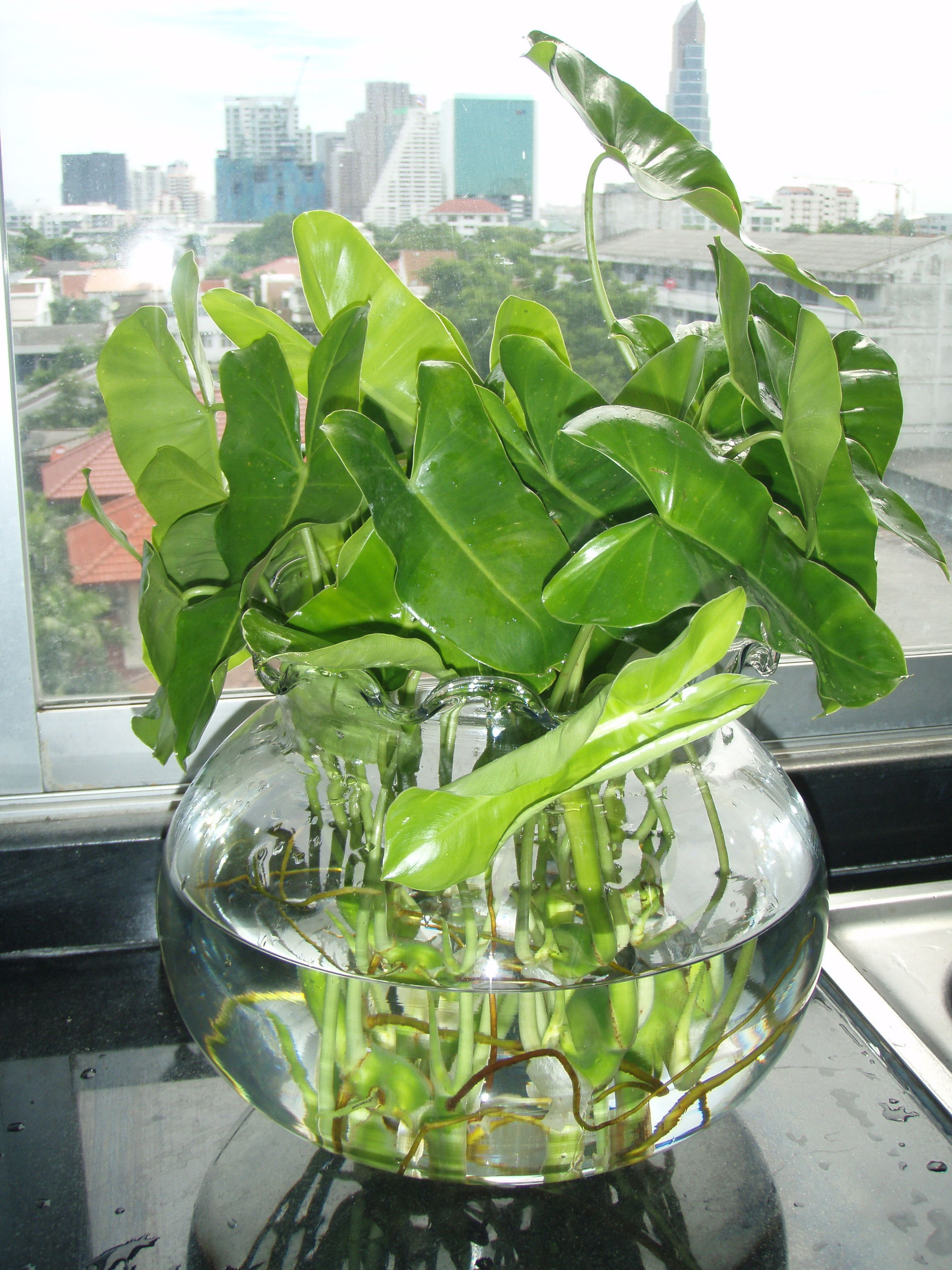 good looking house plant with large green leaves.  Gwak Nguen Tropical Creeping and Foliage Plants Indoor PlantsLarge Large glass jars