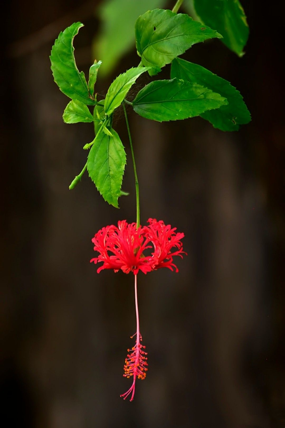 Hibiscus schizopetalus / Red Lantern / Japanese Lantern