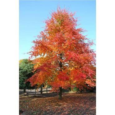 Nyssa Sylvatica Wisley Bonfire Black Tupelo Tree