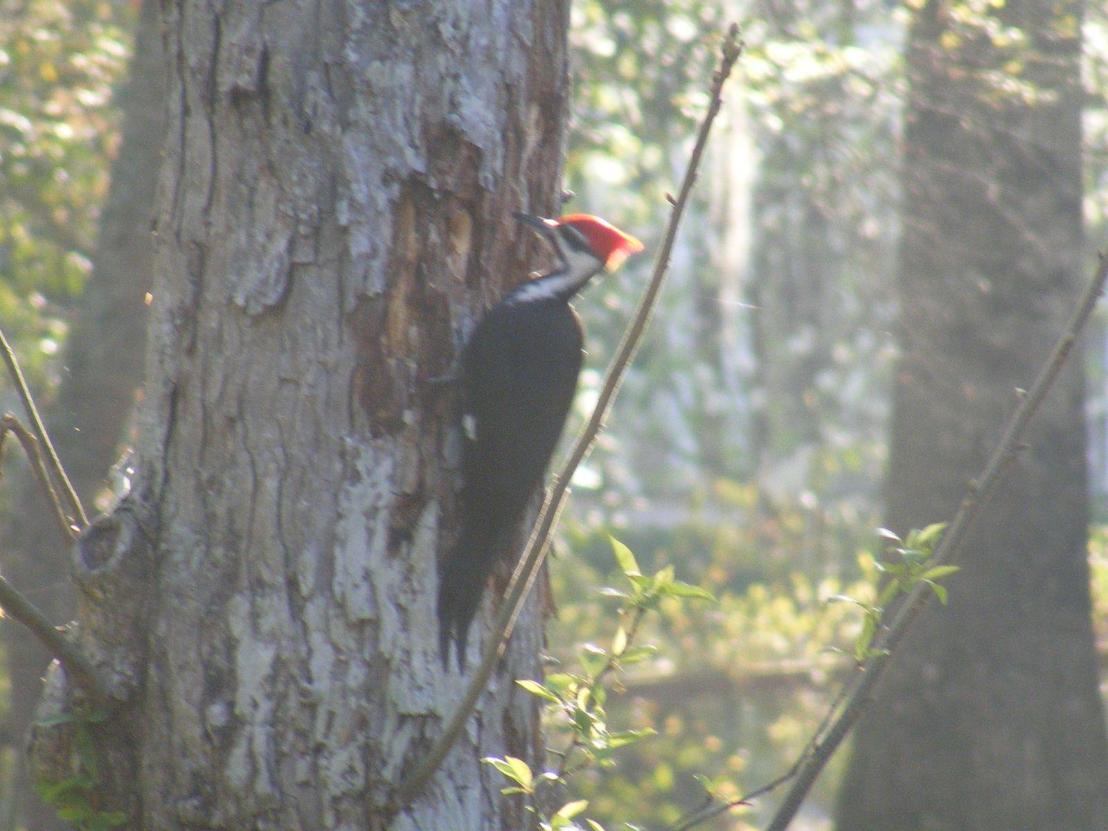 Pileated Woodpecker Woodpecker, Critter, Animals