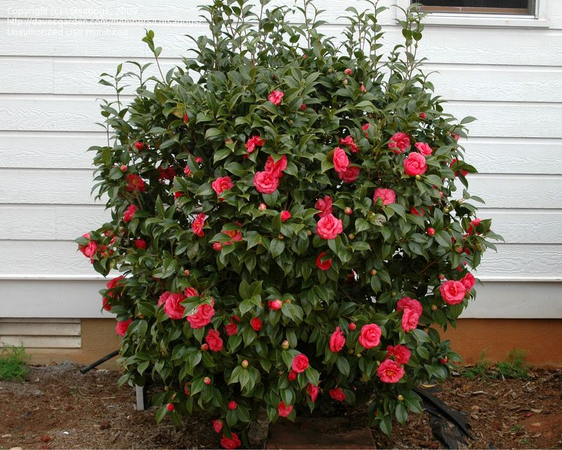 Full Size Picture Of Common Camellia Japanese Camellia Adolphe Audusson Camellia Japonica Indoor Flowering Plants Camellia Plant Garden Yard Ideas