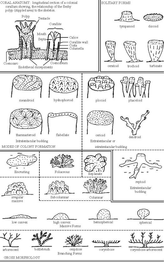 Text Figure A Anatomy And Morphology Of Corals Bio Inspired