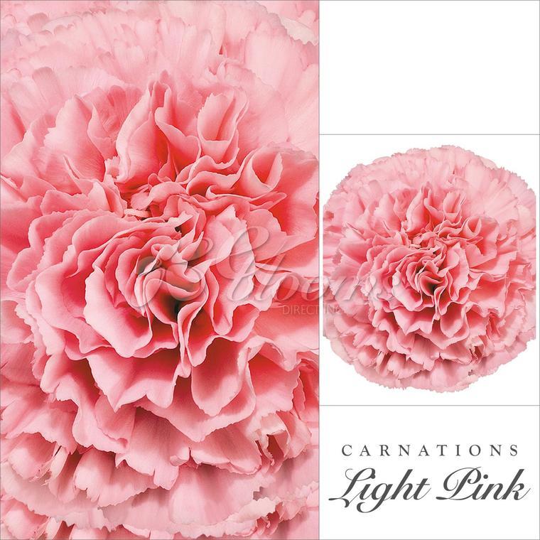Carnation Pink Ebloomsdirect Bulk Flowers Online Carnation Flower Flowers