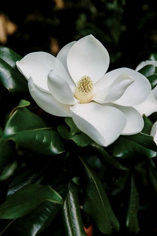 Mangolia With Images Magnolia Flower Beautiful Flowers Bloom Where You Are Planted
