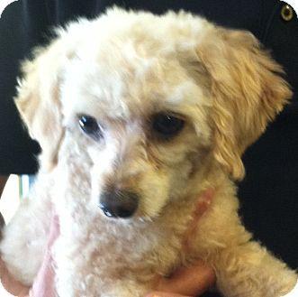 Adopt Nacho What A Cutie Pets Pet Adoption Poodle