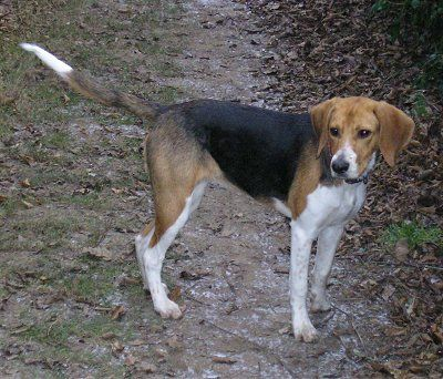 Harrier Dog Photo Beagle Harrier Information And Pictures