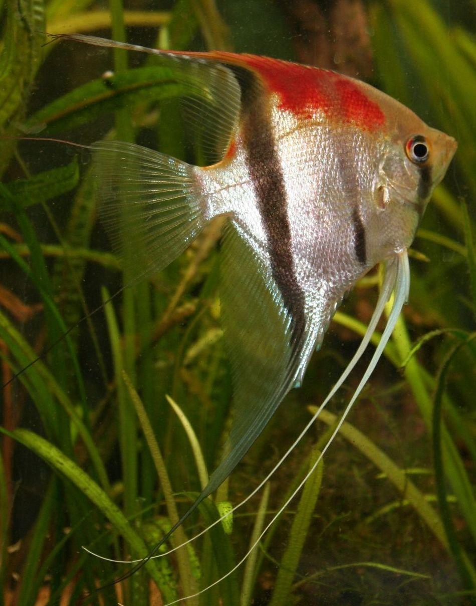 Pin Ot Polzovatelya Vicki Tunkel Na Doske Angelfish Akvarium Ryba