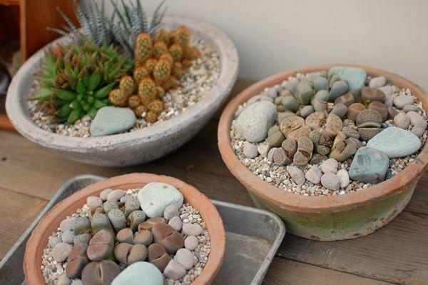 lithops garden | saboten-s | Rakuten Global Market: [fleshy plant living stones / moss ...