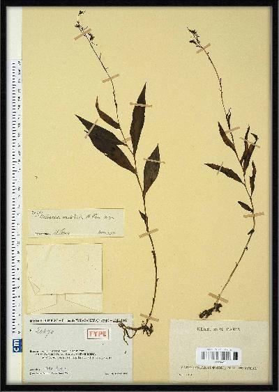 Habenaria nautiloides
