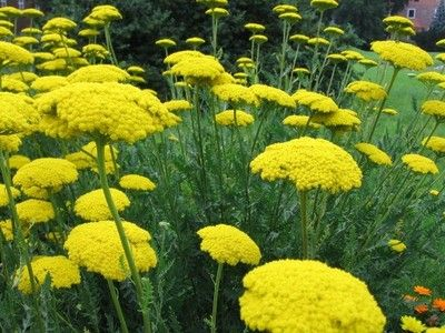 Achillea Filipendulina Krwawnik W 0 5 L Doniczce 6645805011 Oficjalne Archiwum Allegro Achillea Plants Flowers