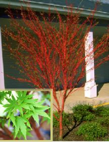 Are not Coral bark japanese maple bonsai