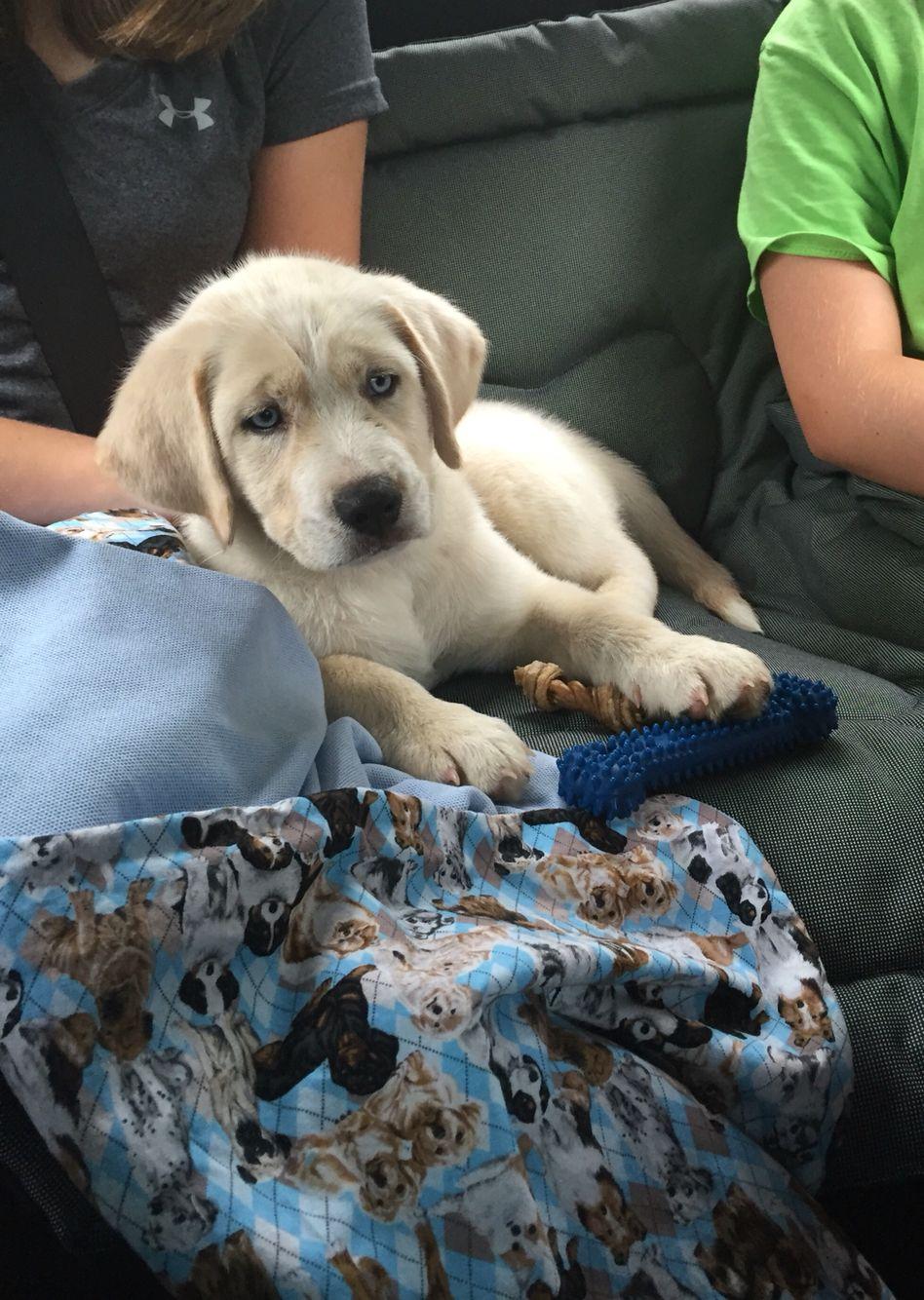 Kei Blue Eyed Yellow Lab Mixed With Beagle Husky Animals
