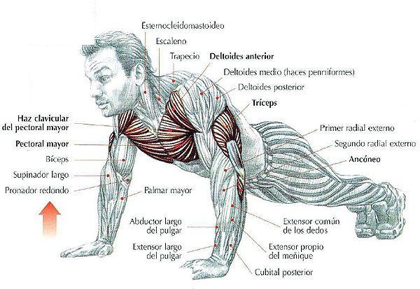 musculos del brazo - Buscar con Google
