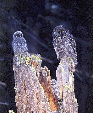 GREAT GRAY OWL NEST