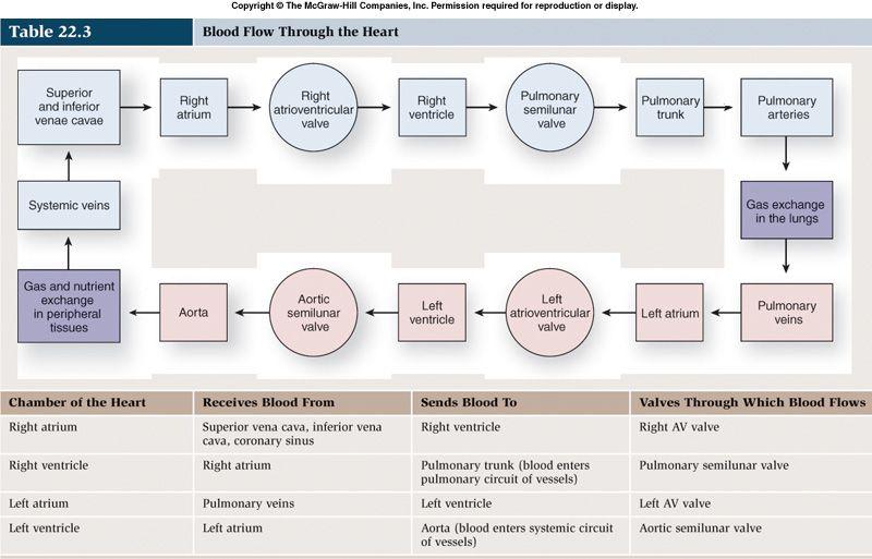 Great page for heart anatomy classroom ideas pinterest heart blood flow thru heartchart publicscrutiny Choice Image