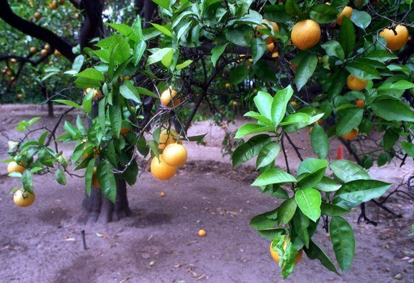 Gardening Tip How To Revive A Badly Pruned Citrus Tree
