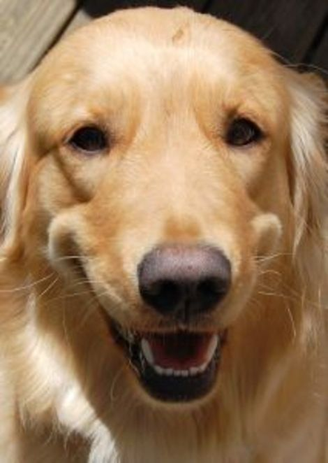 Keep Your Dog S Teeth Healthy Dogs Golden Retriever Therapy