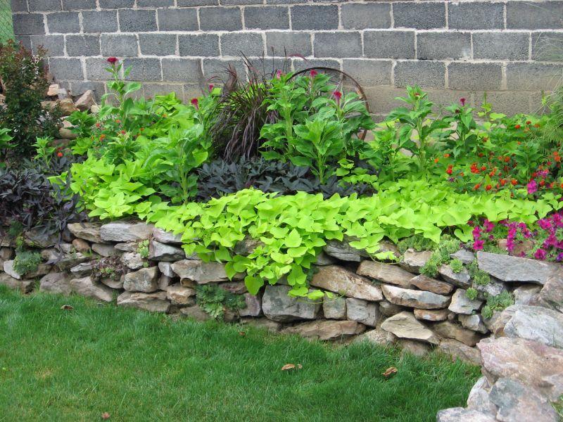 Black & Green Sweet Potato Vine, Cockscomb, Lantana, Petunia
