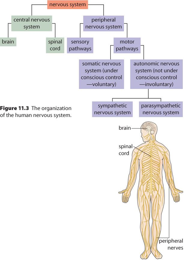 Word of the day central nervous system cns vs peripheral nervous word of the day cns vs pns further down in this post review neurons make a mad mad mad neuron in the blue understanding psychology book read pp ccuart Choice Image