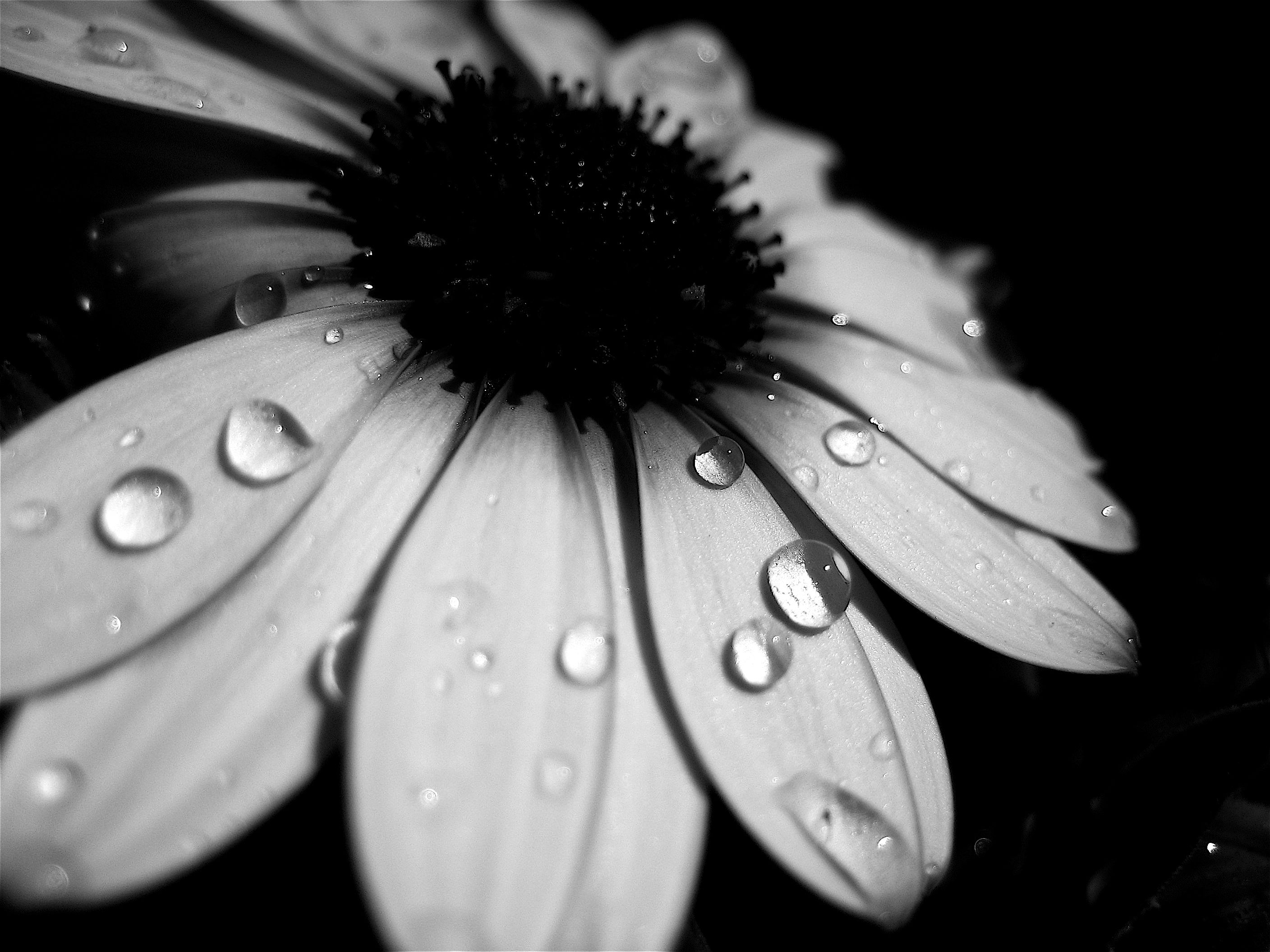 Http Orig08 Deviantart Net F0f0 F 2008 040 C 9 Water Droplets By Cheiso Jpg Black And White Flowers Black And White Black And White Photographs