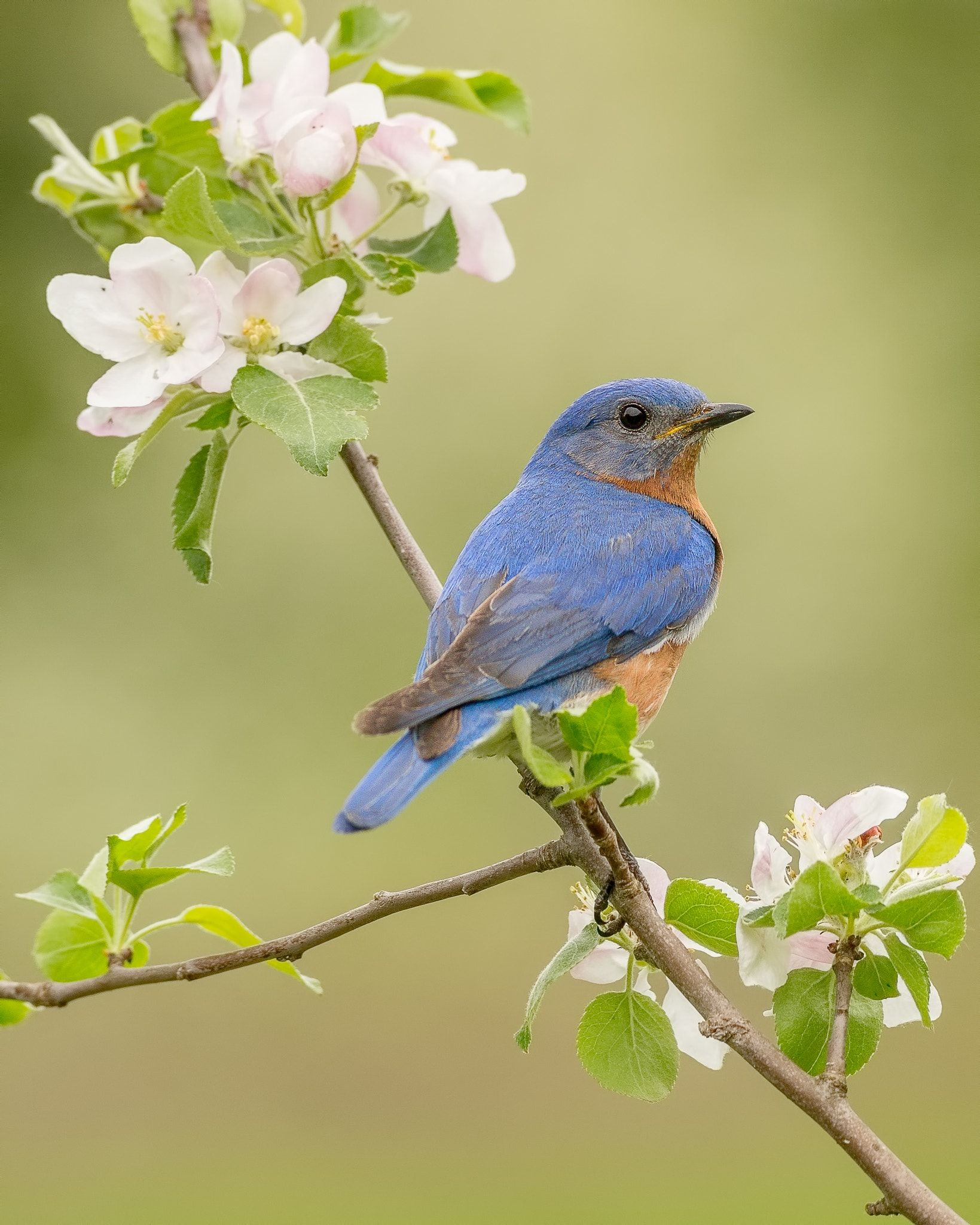 Bluebird and apple blossoms a male eastern bluebird