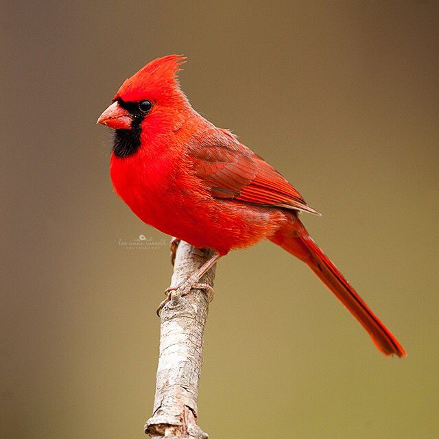 Good night, friends!  I hope you all have sweet dreams. This is a male Cardinal.