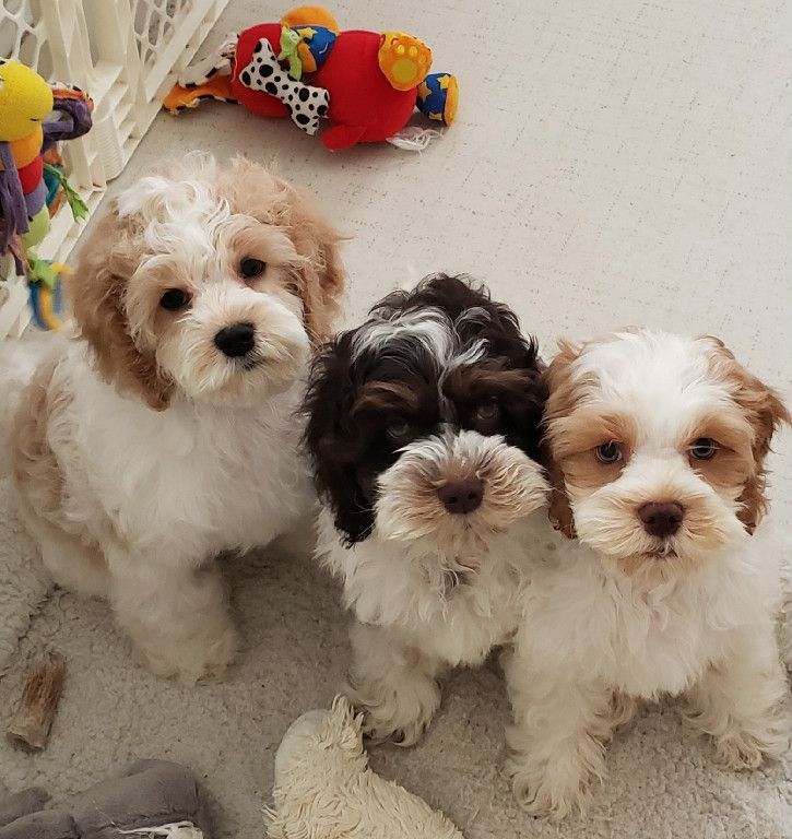 I love how the two Cockapoo puppies on the ends have the