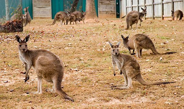 GEORGIA MOUNTAINS ATTRACTIONS --- Kangaroo Conservation Center Dawsonville The Kangaroo Conservation Center is Georgia's Aussie Adventure. Visi… | Pinteres…