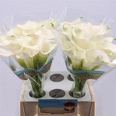 Calla Lily Captain Ventura 70cm Wholesale Flowers Florist Supplies Uk Wedding Flower Guide Picking Wedding Flowers Calla Lily