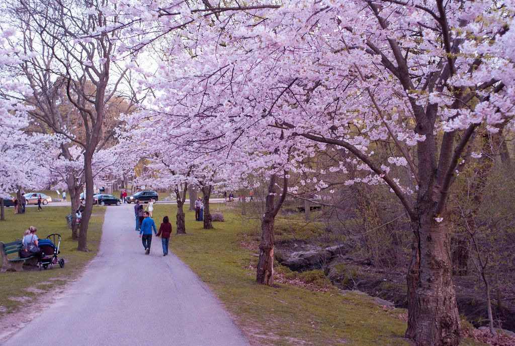 Toronto High Park Cherry Blossoms 2015 Japan China Google Search Toronto High Park Cherry Blossom Cherry Blossom Season