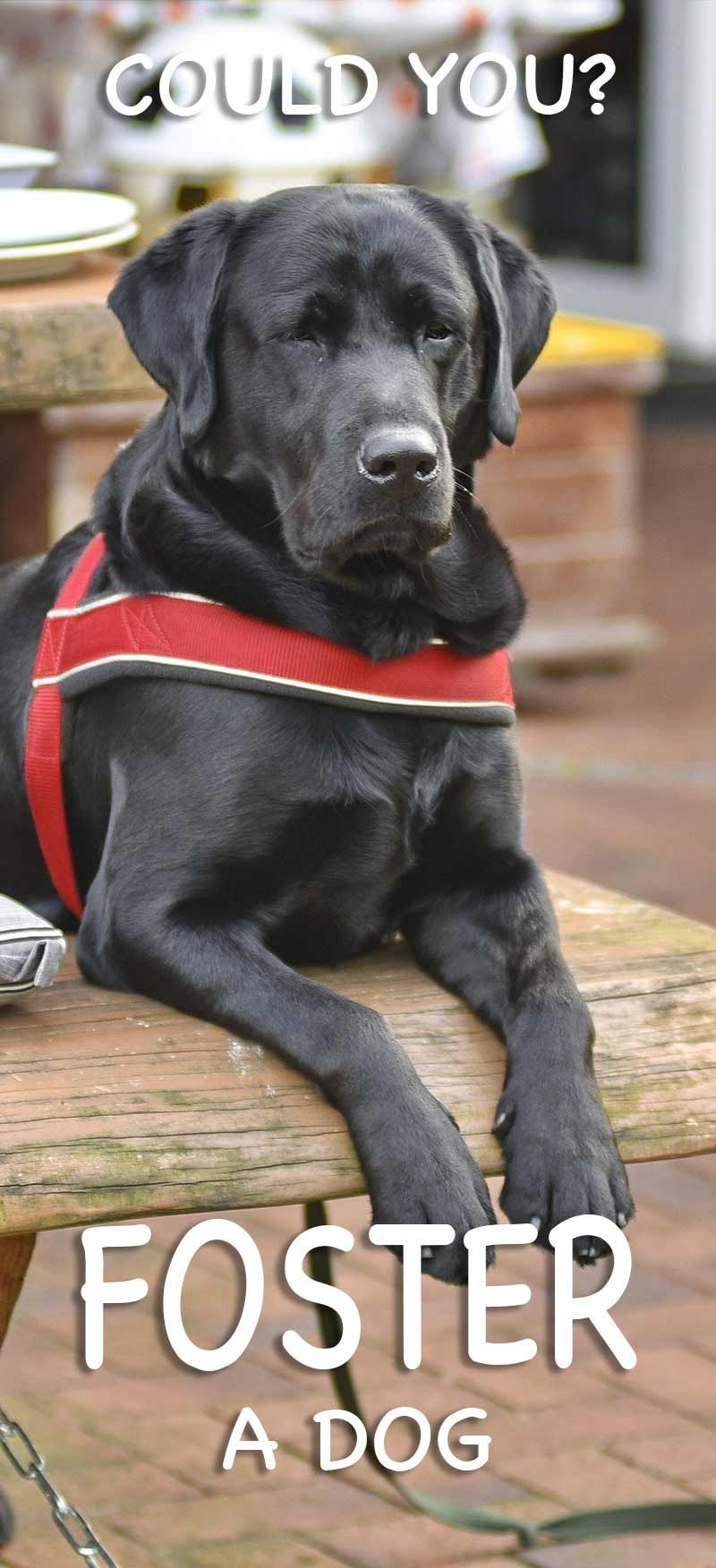 Labrador Rescue And How To Adopt A Dog A Dog Rehoming Guide Dogs Foster Dog Labrador Rescue