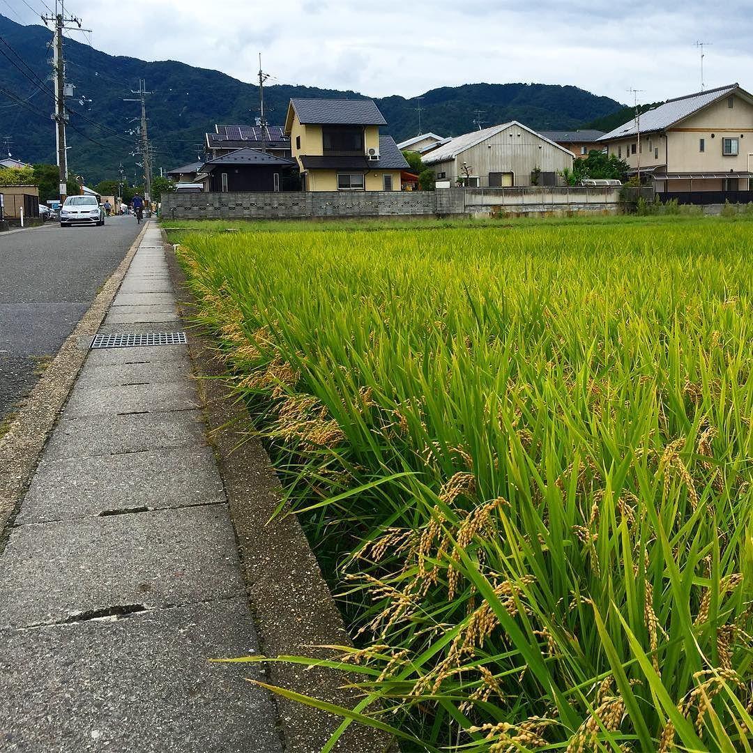 Вот и рис уже налился конец сентября #рис #Япония #сентябрь #урожай #скоро