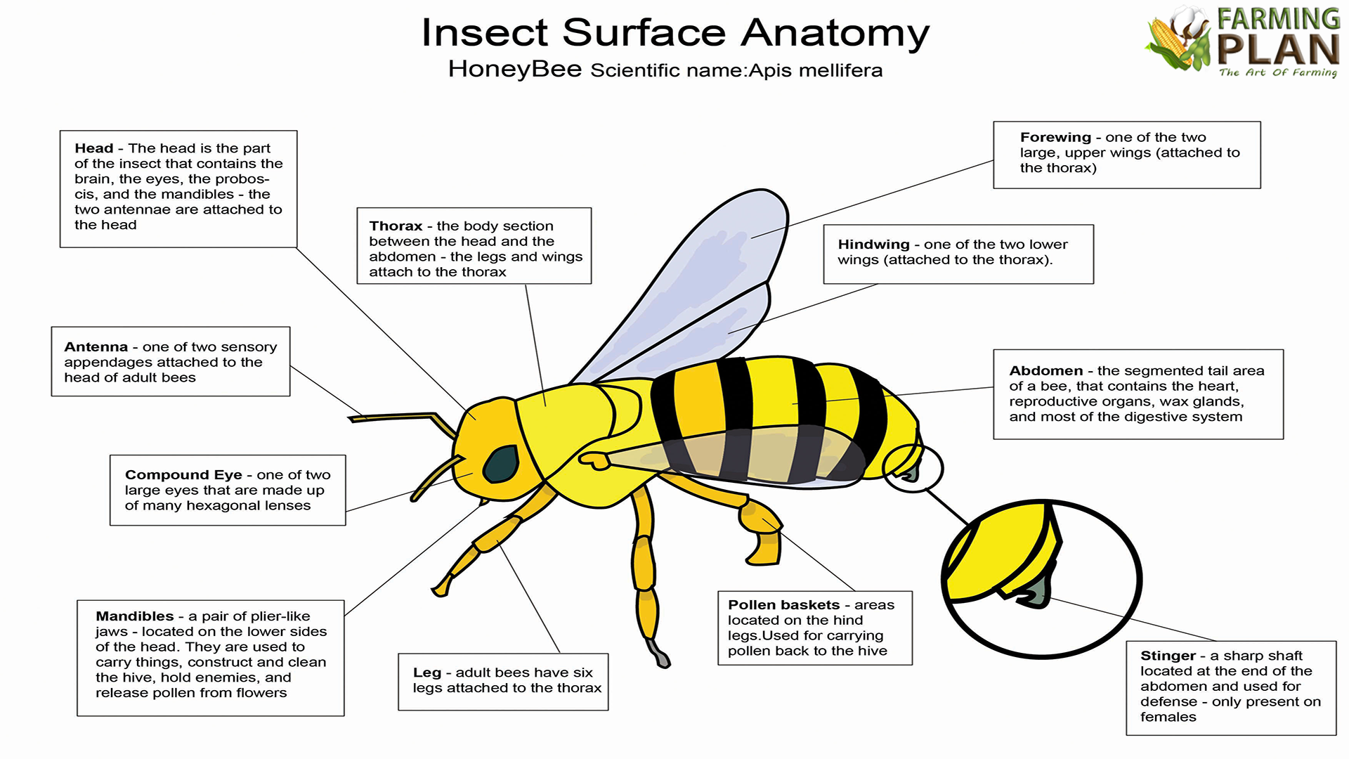 Bee Anatomy Diagram Blank - Auto Wiring Diagram Today •