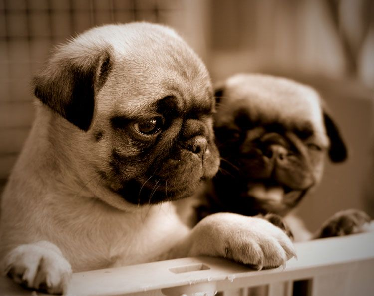 The Difference Between Akc Ukc And Ckc Baby Pugs Cute Puppies