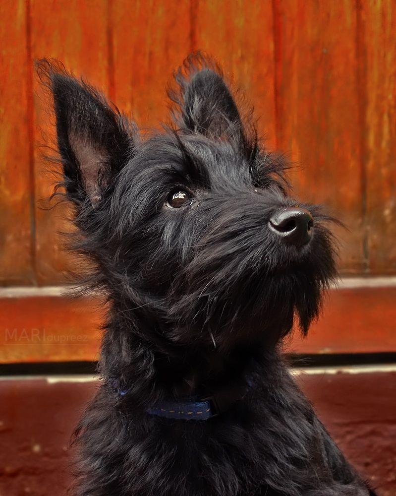 Proud Scott Scottie Puppies Cute Dogs Breeds Scottish Terrier
