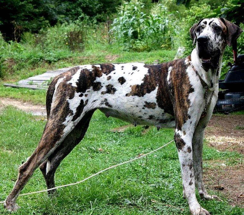 Brindlequin Great Dane Looks Like Our Tiberius Great Dane