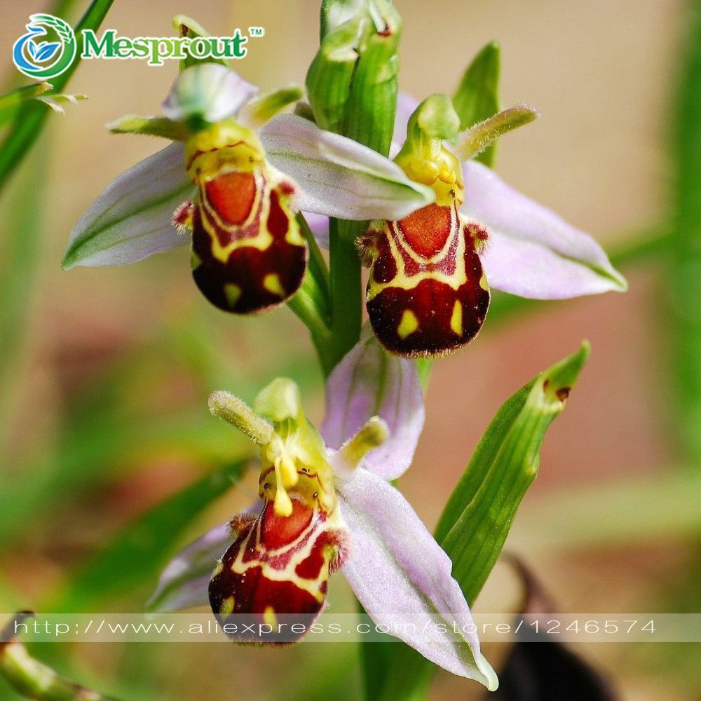 Free Shipping Seeds China Rare Flower Bee Orchid Flower Seed