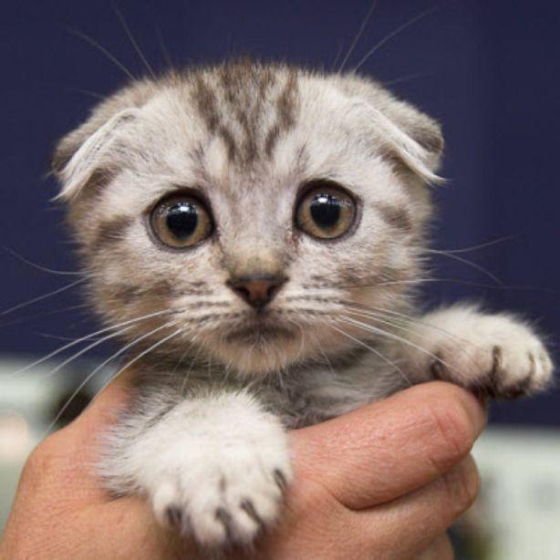 Scottish Fold Kitten 19th October 2015 With Images Scottish