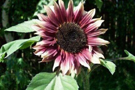 Ruby Eclipse Sf 10k Wa 085777119992 Tipe Bunga Matahari Yang Indah Yang Menghasilkan Bunga Berwarna Campuran Ruby Red Dan Lemon Di Rare Seeds Sunflower Seeds