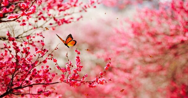 Beautiful butterfly cherry blossom flowers nature pink pretty beautiful butterfly cherry blossom flowers nature pink pretty tree mightylinksfo