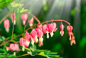 Life Cycle Of The Bleeding Heart Plant Bleeding Heart Plant Bleeding Heart Plants