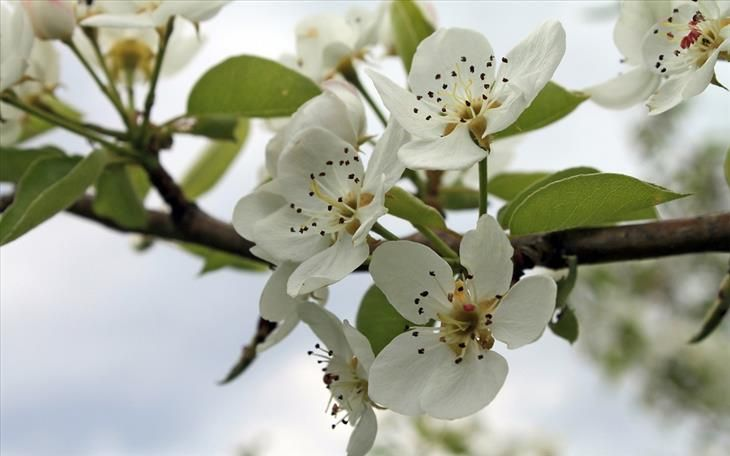 Pear Tree Blossoms Pear Blossom Flowering Pear Tree Flower Desktop Wallpaper