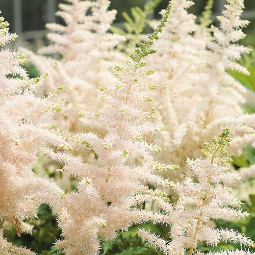 Astilbe Chinensis Milk And Honey Astilbe Milk And Honey Summer Plants