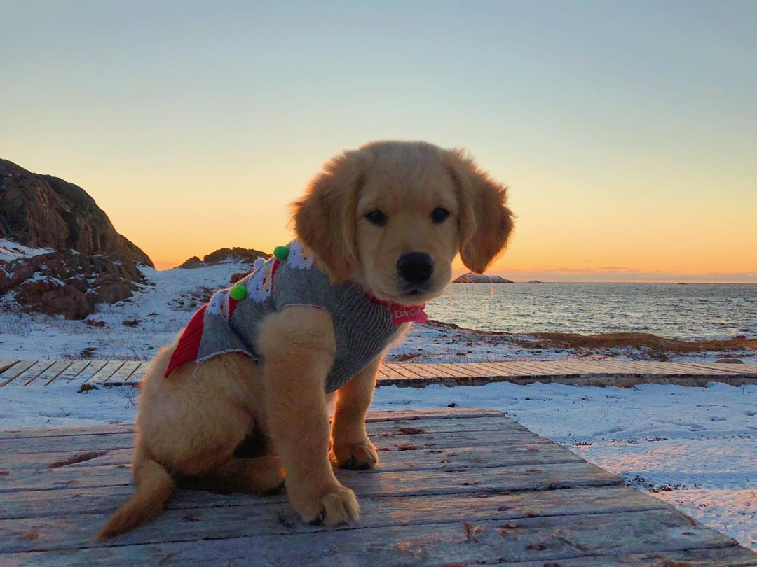 Are You Looking For The Best Golden Retriever Dog Names Maybe You Ve Just Adopted A Gorgeous Golden Or Mayb In 2020 Cute Puppies Cute Baby Animals Cute Little Puppies