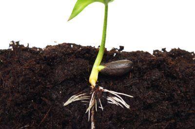 Apfelbaum Aus Zweig Ziehen