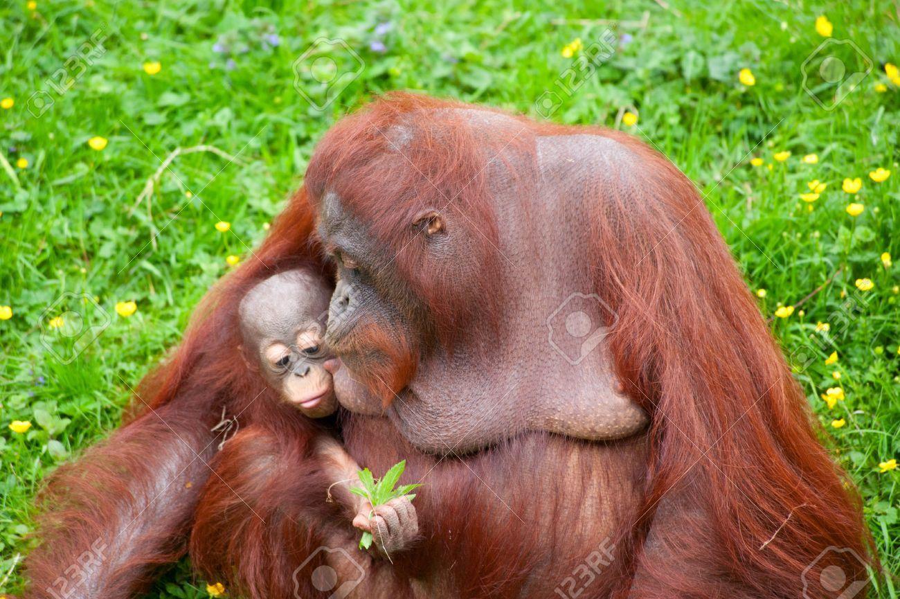 Image result for newborn orangutan Borneo, Orangutan