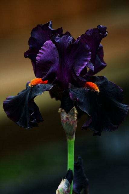 American Hybrid Iris Draculas Kiss Iris Flowers Plants Amazing Flowers