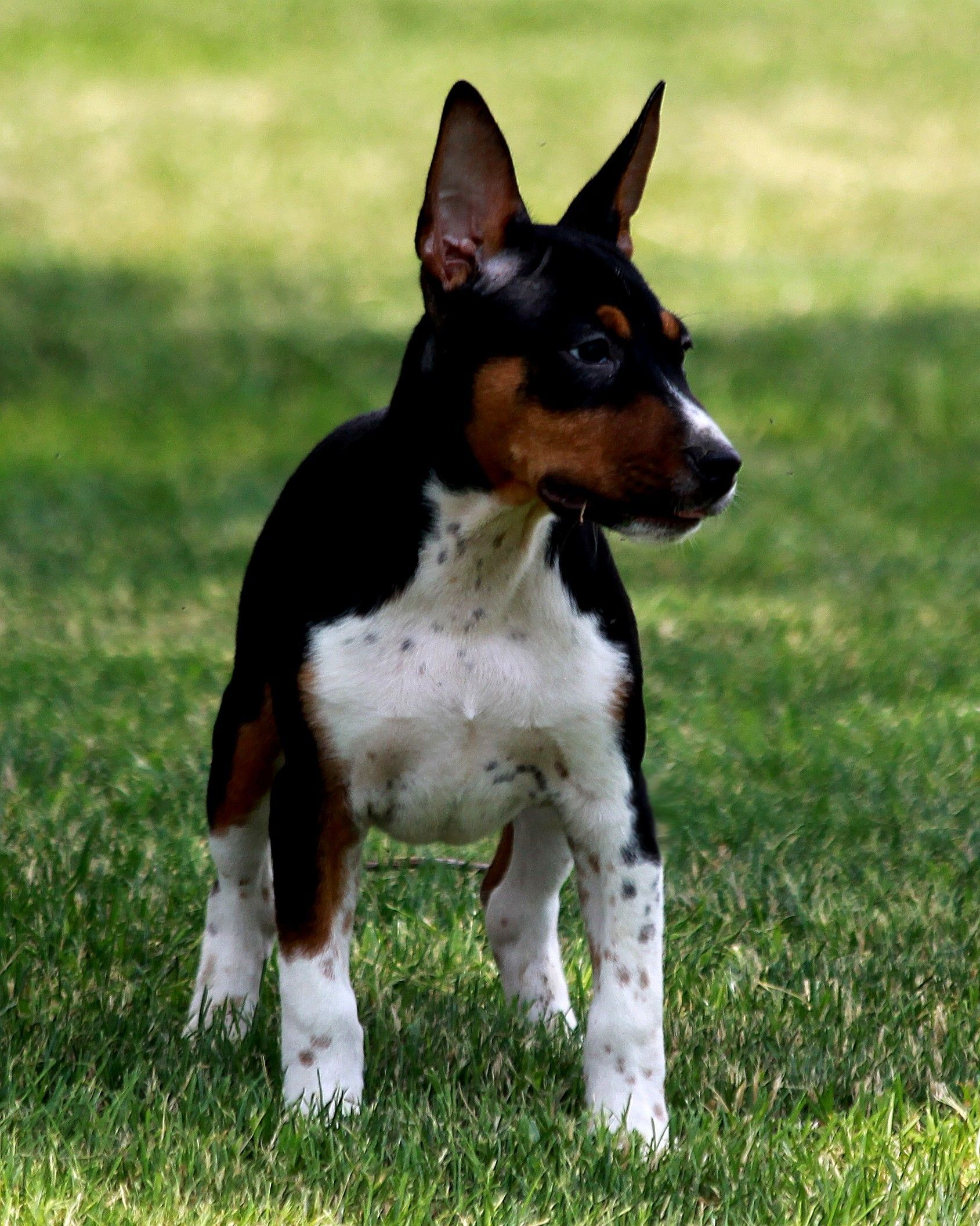 Loki Now Lives In Manhattan Ny Rat Terrier Dogs